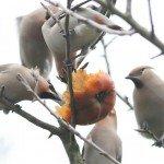waxwings-img_0939