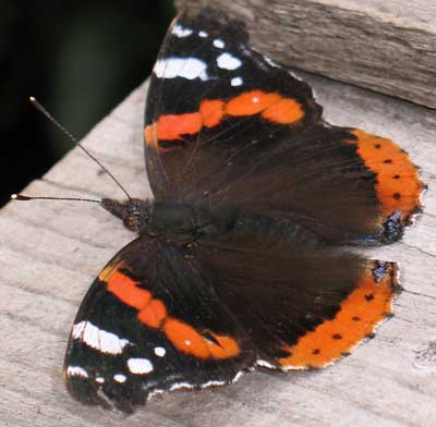 Join In The Big Butterfly Count !