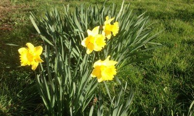 Daffodils on the verge by Ferndale Road and Hullbridge Road