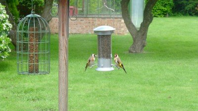 Green Belt - Goldfinches