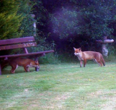 rawreth garden foxes 2